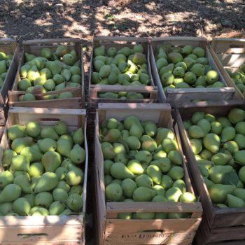 Raccolta per butirro in Sicilia per confettura extra Terra Aqua