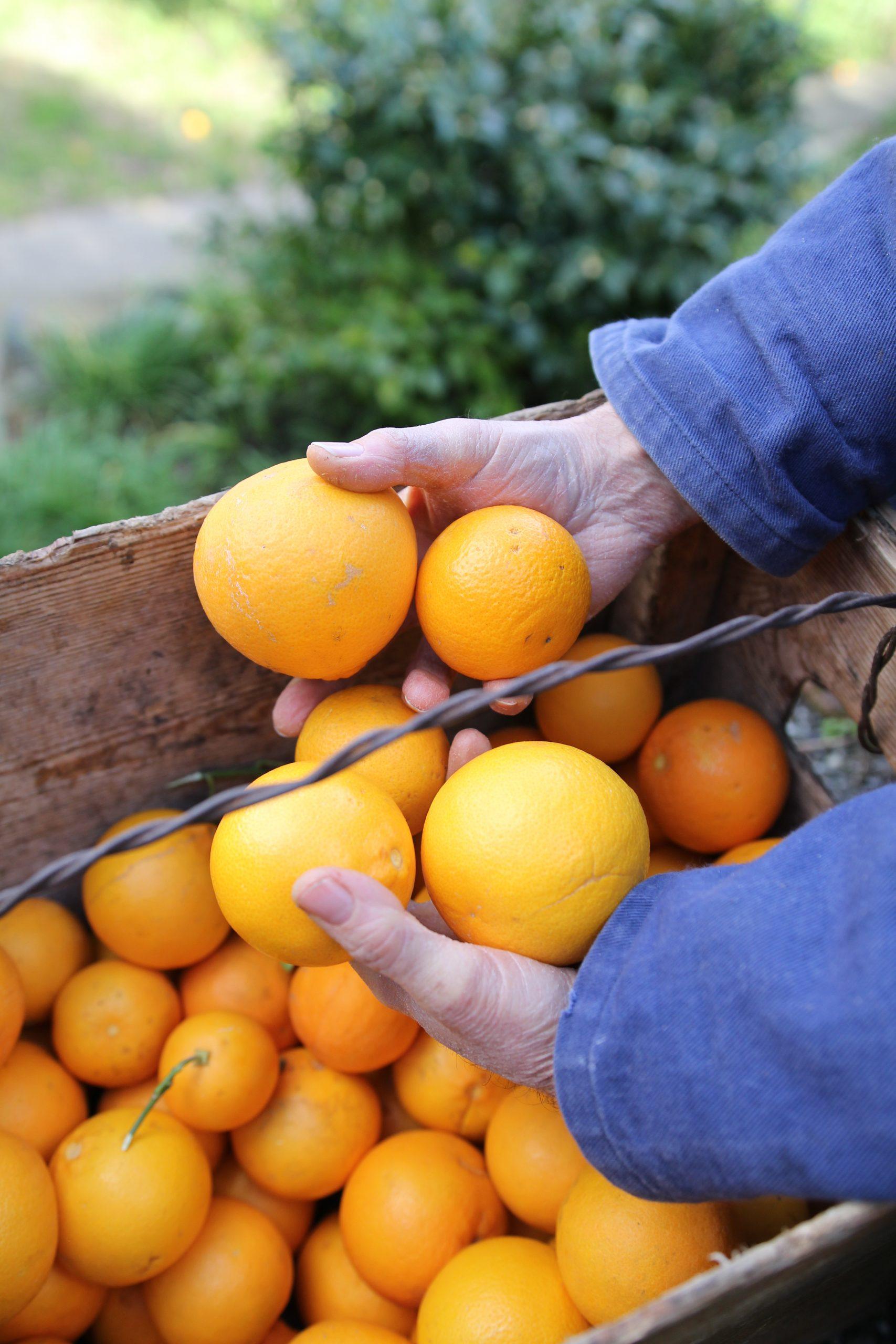 Raccolta delle Arance Tarocco in Sicilia