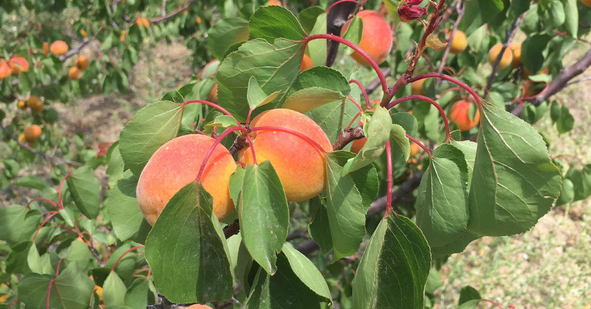 Frutta su un ramo